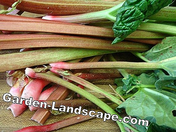 Harvest rhubarb - this is the best harvest time