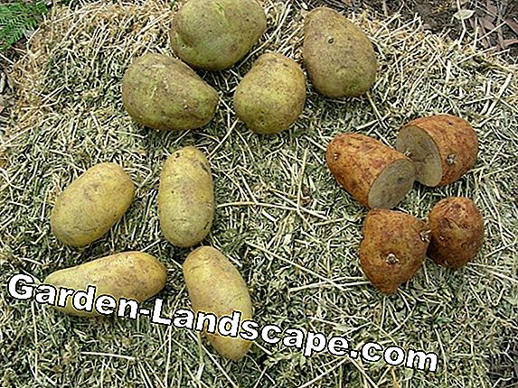 Seed potatoes, seed potatoes - plants and care