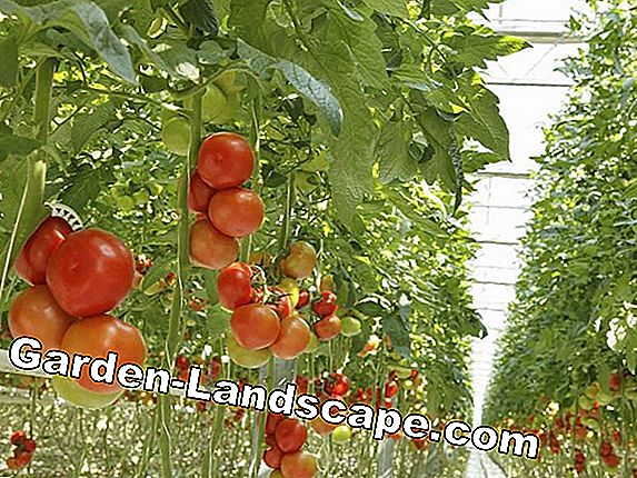 Special: Tomatoes, plants, grooming, recipes