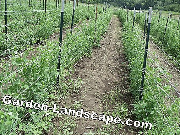 Sugar peas - cultivation and care of mangetouts