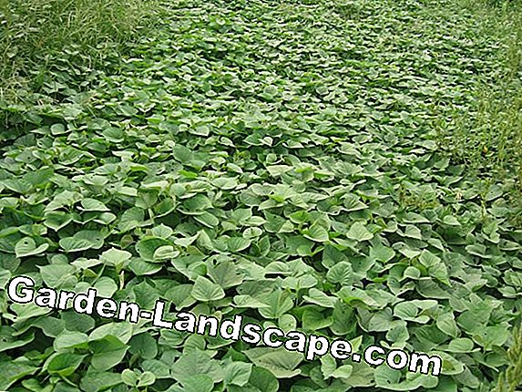 Sweet potato plants in winter: so overwinter cuttings