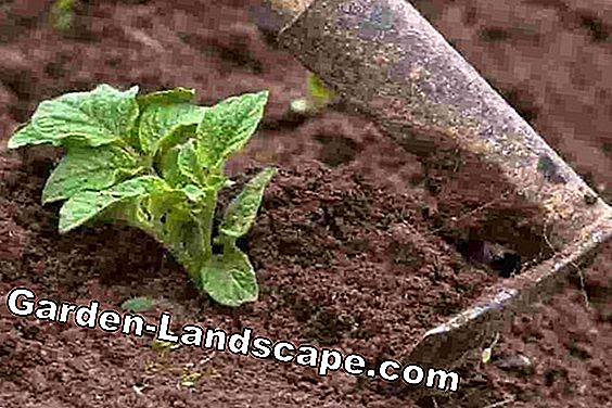 Grow sweet potatoes yourself - planting and care