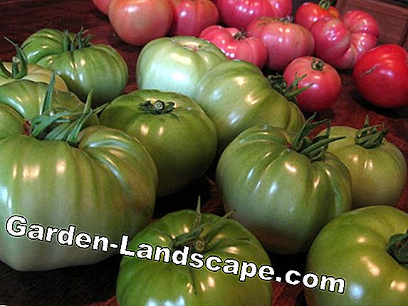 Tips for a good tomato harvest