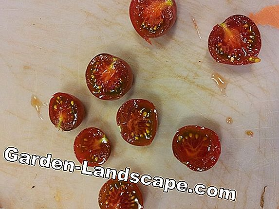 Make tomato seeds yourself - tips for seed extraction