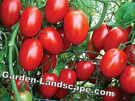 Tomatoes with taste - delicious tomato varieties