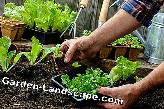 Vegetables - vegetables for the home garden