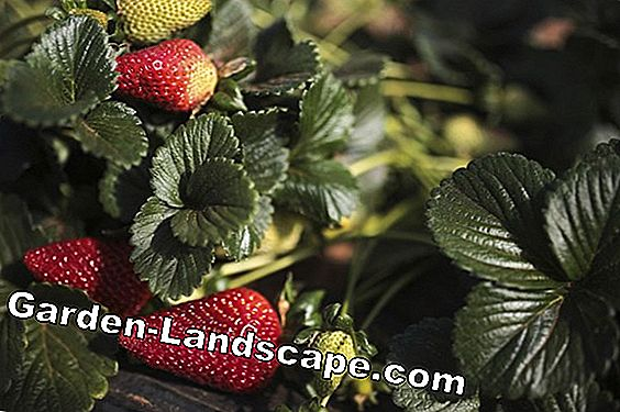 When do you plant strawberries? Information about the best planting time