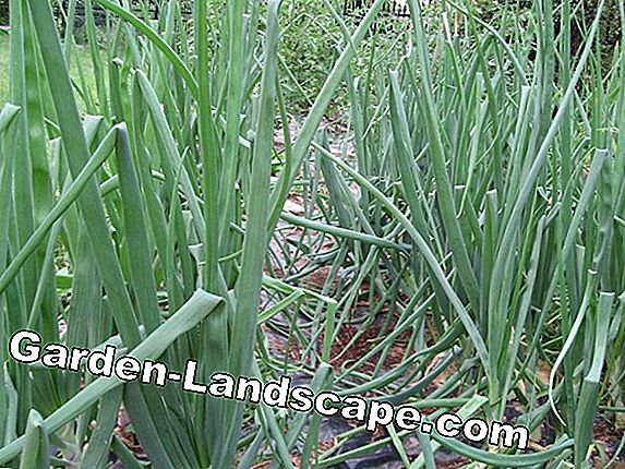 Plant wild garlic in the garden - wild garlic cultivation