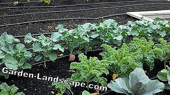 Grow winter vegetables - this healthy vegetable grows in winter