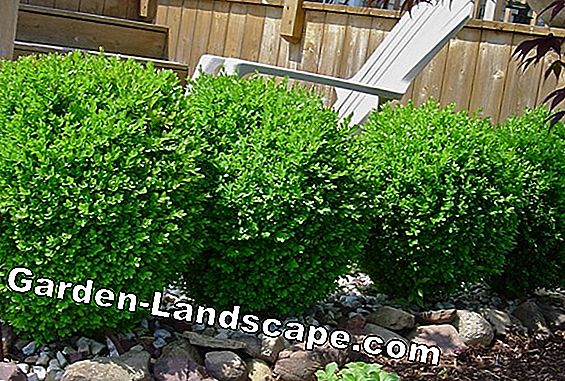 Boxwood, Buxus microphylla - varieties, care and cutting
