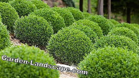 Boxwood, Buxus sempervirens - Planting, Care & Cutting