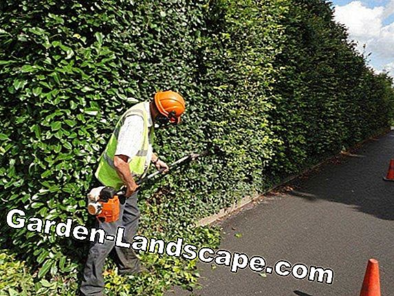 Care of the privet hedge - fertilize and cut properly