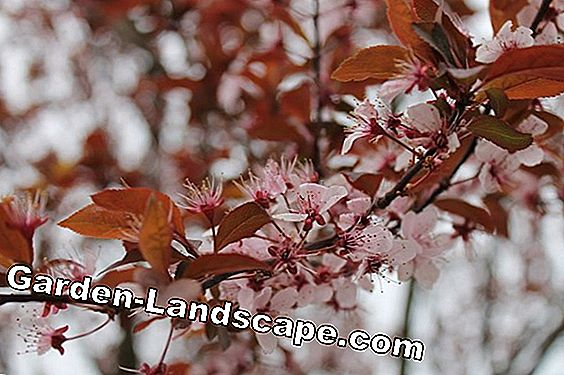 Laurel cherry - care, cutting and diseases