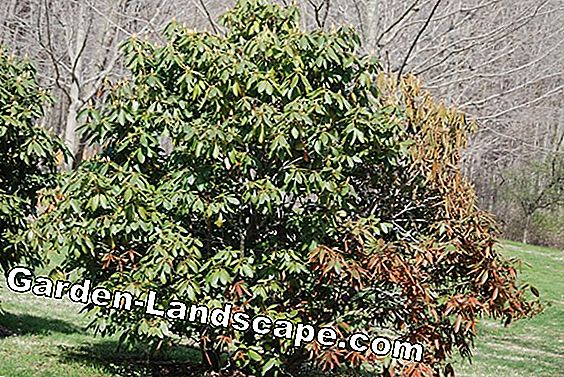 Laurel cherry, cherry laurel fertilize - when, with what and how often