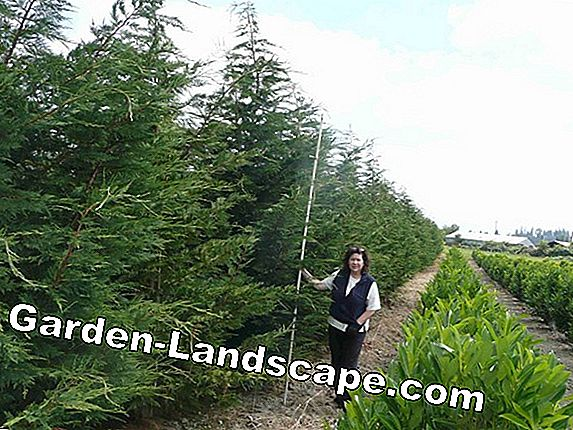 Leyland cypress - care and cutting of bastard cypress
