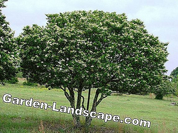 Evergreen hedges - popular green hedge plants