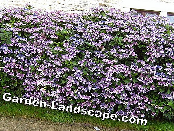 Fast-growing hedges - popular hedge plants