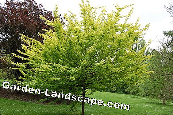 Cultivating field maple hedge - planting, fertilizing and cutting