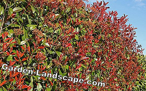 Flowering hedge plants - varieties and plants