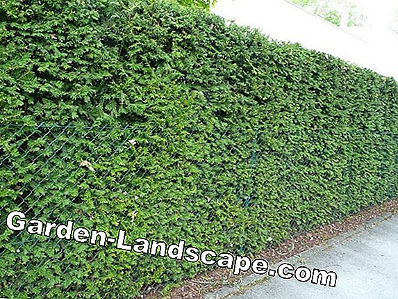 Green hedge as fence replacement - garden hedge