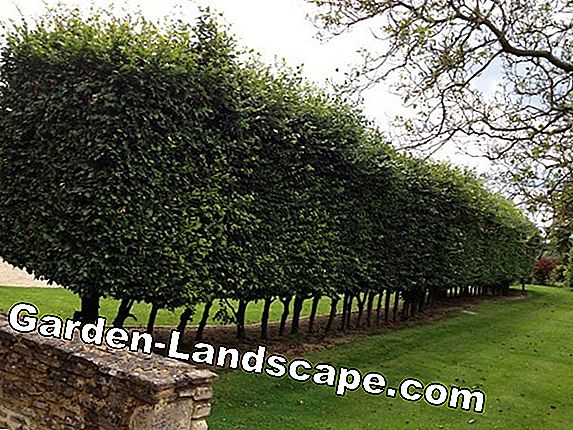 Cherry laurel hedge - planting distance, cutting, fertilizing