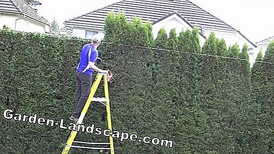 Hedges - planting, cutting, care