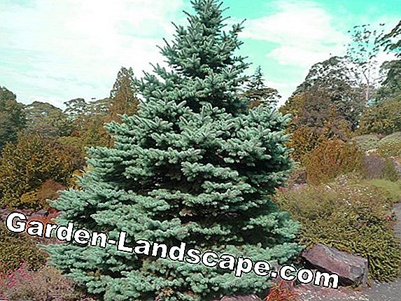How high are conifers and conifers?