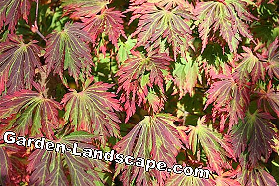 Japanese maple, Acer japonicum - planting and cutting