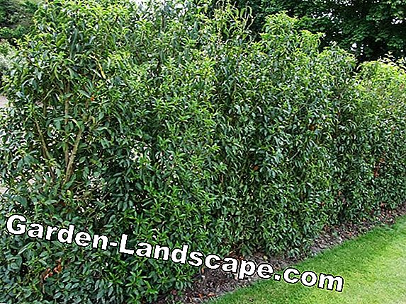 Laurel hedge - all about proper care, planting and fertilizing