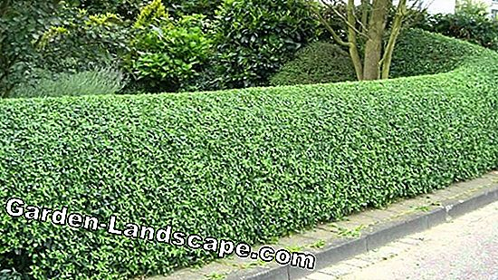 The most popular hedge plants