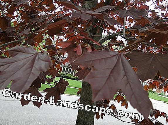 Norway maple, Acer platanoides - profile and care