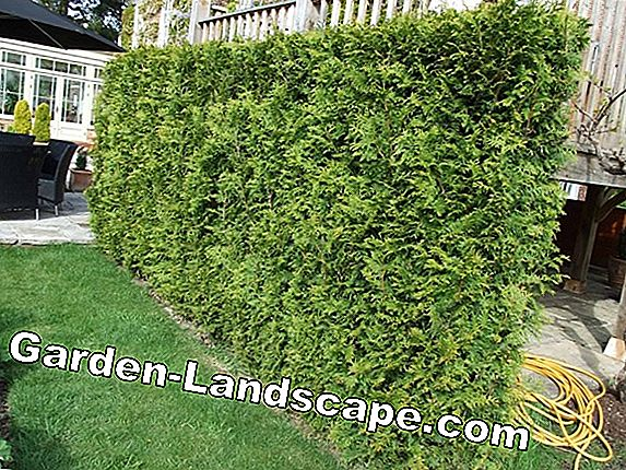Hornbeam, Carpinus betulus - Care of the hedge