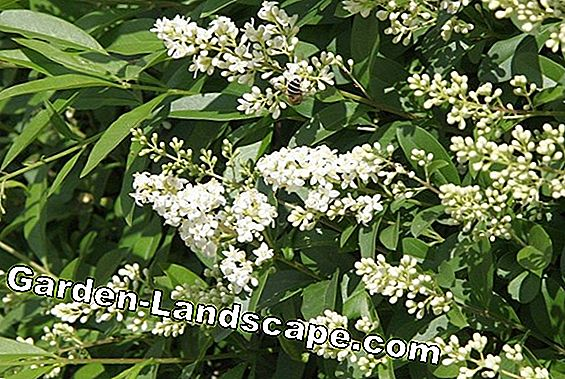 Privet hedge - plants, care and cutting