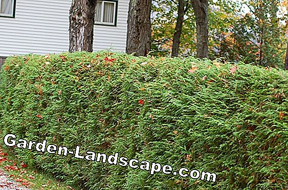 Hedge design with hedge spruce and hedge myrtle