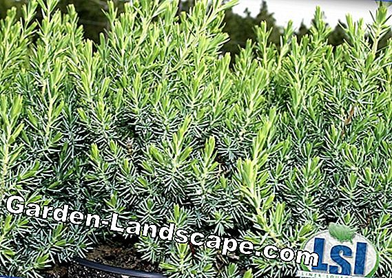 Rocket Juniper - Planting & Maintaining Column Juniper