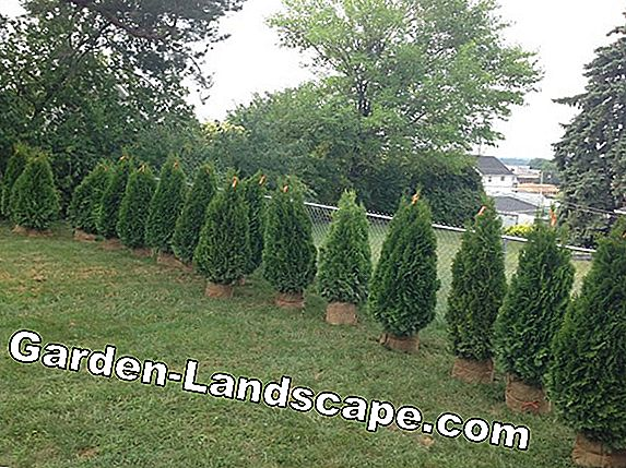 Thuja hedge - plants, planting distance and care