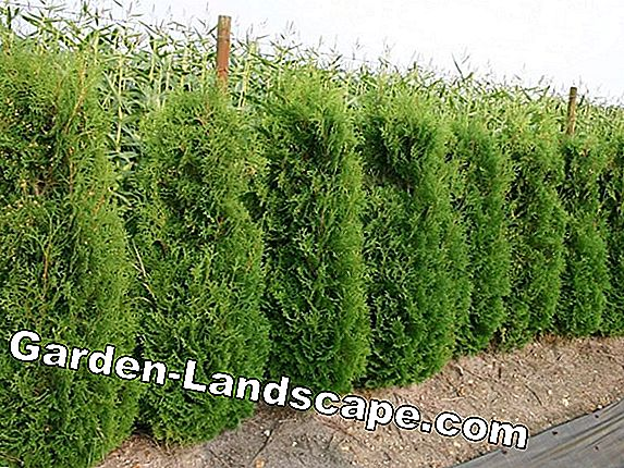 Thuja occidentalis Columna - Caring for and cutting the pillar huja