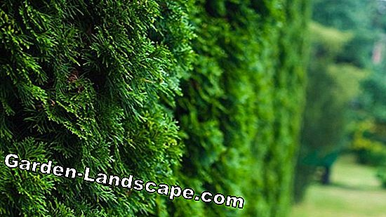 Tree of Life, Thuja occidentalis emerald - care tips