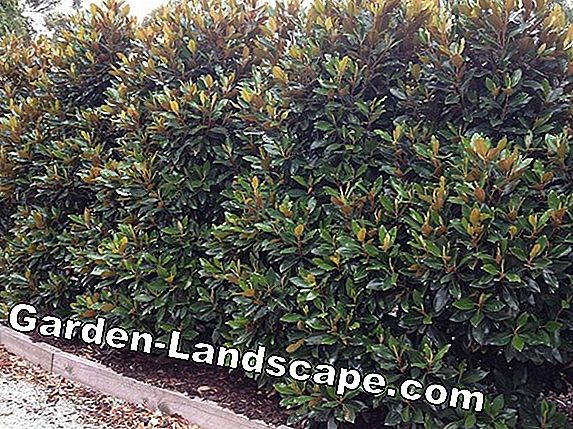 Which shrubs are suitable as a screen