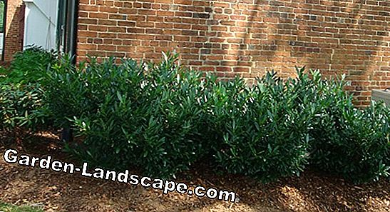 When is the best time to plant cherry laurel? Information about planting