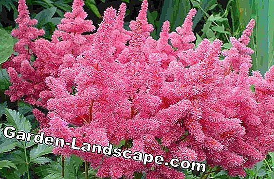 Astilbe, magnífico muelle