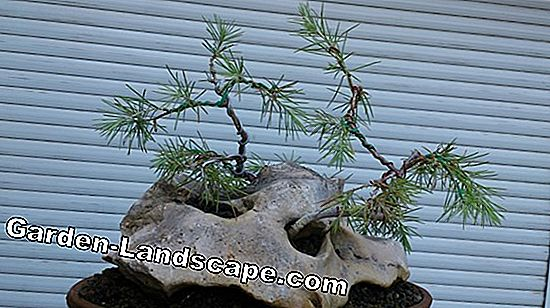 Higuera china, Ficus retusa - cuidado como bonsai