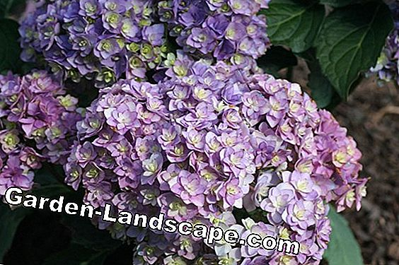 Hydrangea Forever and Ever®: cuidado y corte