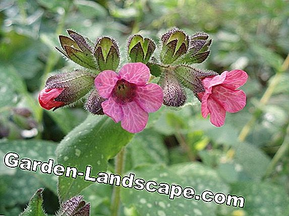 Lungwort, Pulmonaria officinalis - Perawatan