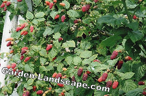 Tayberry, Tayberry