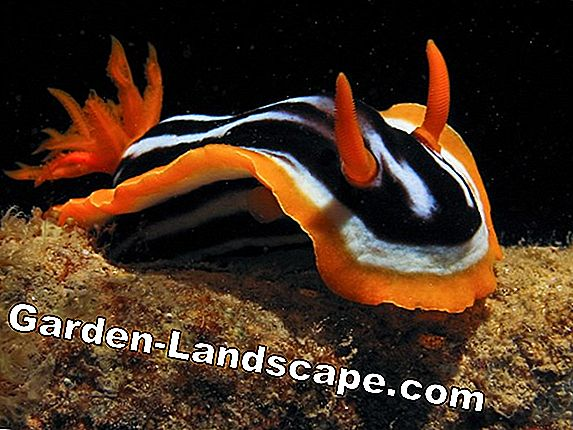 Siput, nudibranch