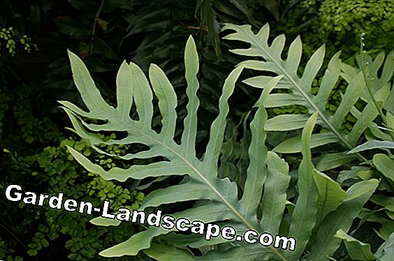 Hare foot fern - Hasenpfotenfarn - care
