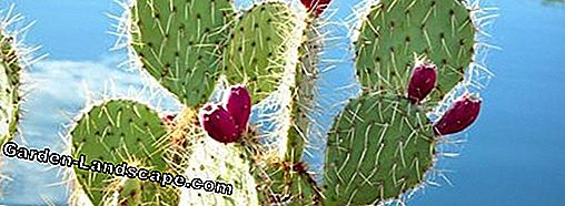Prickly Pear Cactus, Prickly Pear, Opuntia - Tips Perawatan