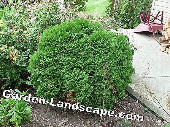 Thuja hedge: tips melawan rebung