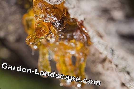 Tree Resin: 5 fatti sorprendenti